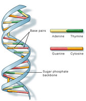 DNA double helix with labeled nucleotide base pairs