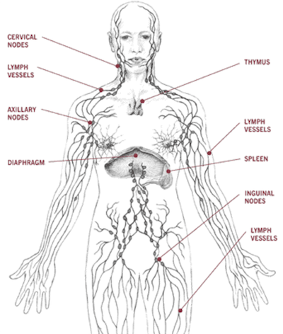 lymphatic-system-ben#613900